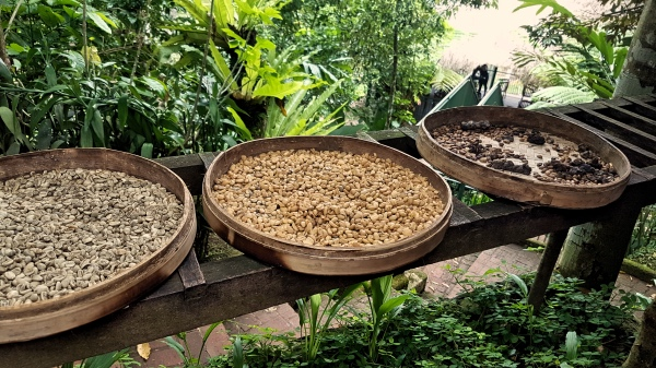 Defecated Luwak Coffee - Guide To Luwak Coffee Bali